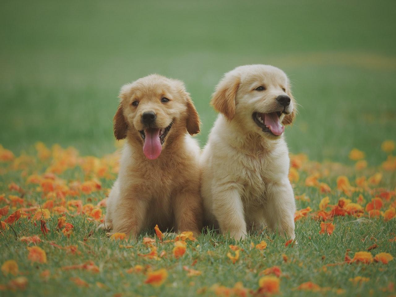 to hundehvalpe på en blomstermark